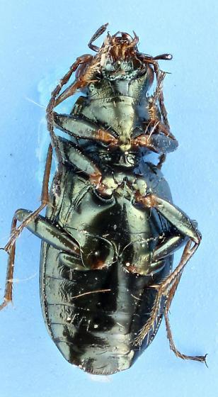 Bembidion - Bembidion americanum