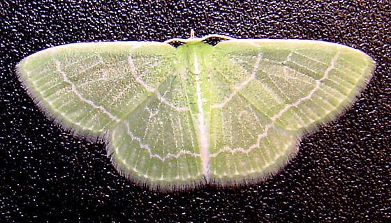 Wavy-lined Emerald pupa - Synchlora aerata