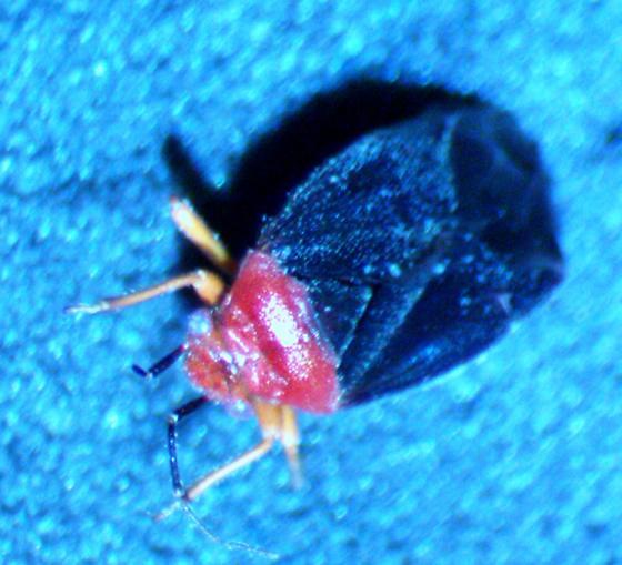 small bugs infesting Yucca plants - Halticotoma valida