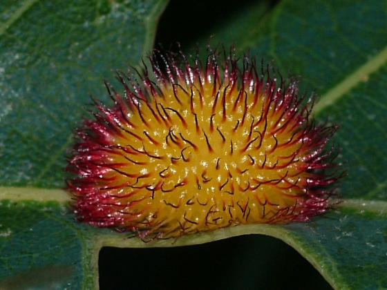 Hedgehog Gall on White Oak - Acraspis erinacei