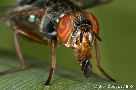 Is this a Signal Fly? - Senopterina caerulescens