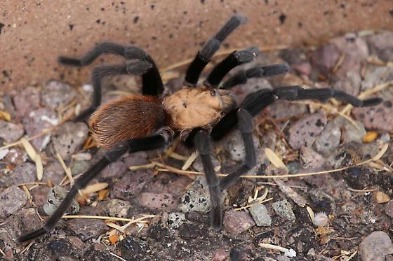 Tarantula - Aphonopelma hentzi