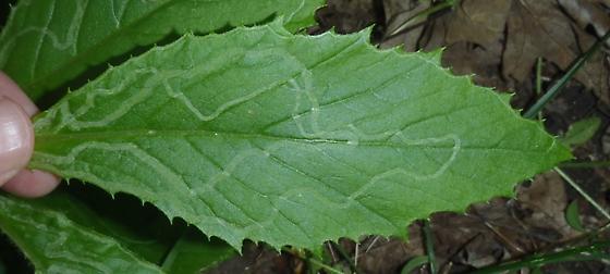 leaf mine on pilewort - Phyllocnistis insignis