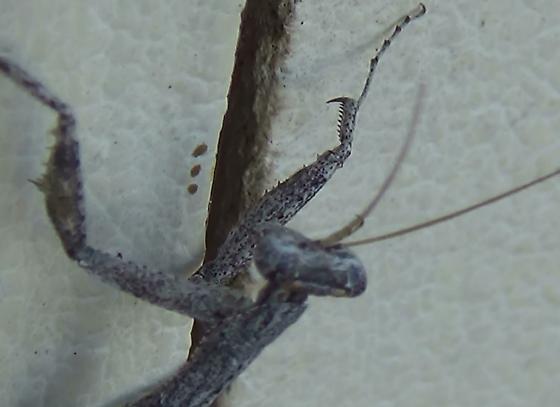 Ground Mantis close ups in the desert - Litaneutria minor - male