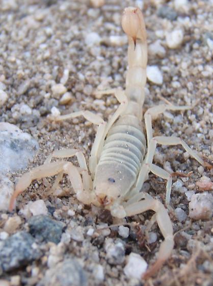Scorpion in Coachella valley (Near Desert Hot Springs) - Vaejovis waeringi