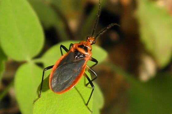 Scarlet-bordered Assassin Bug - Rhiginia cruciata