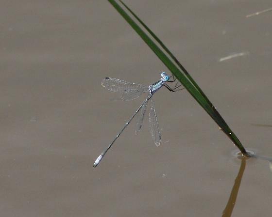 Rainpool Spreadwing - Lestes forficula