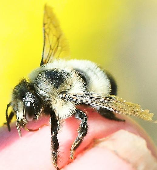 Megachile melanophaea - Black-and-gray Leaf-cutter Bee - Megachile melanophaea