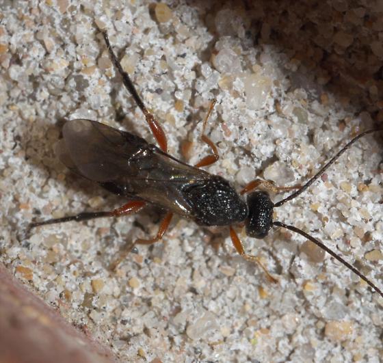 Black and red ichneumon - Urosigalphus