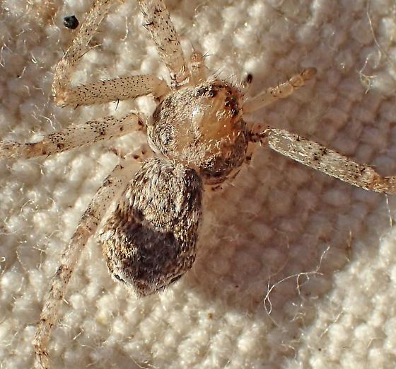 P. californicus female - Philodromus californicus - female