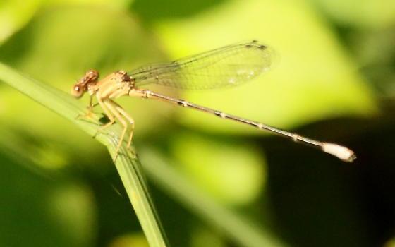 Blue-fronted dancer damselfly - Argia apicalis - female