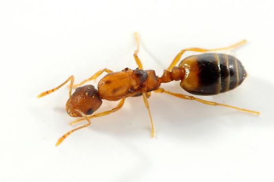 Ant - Monomorium pharaonis - female