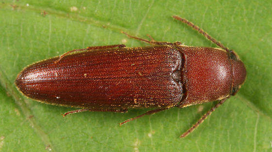 False Click Beetle - Schizophilus subrufus