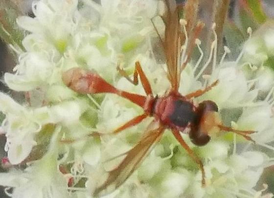 Fly - Physocephala texana