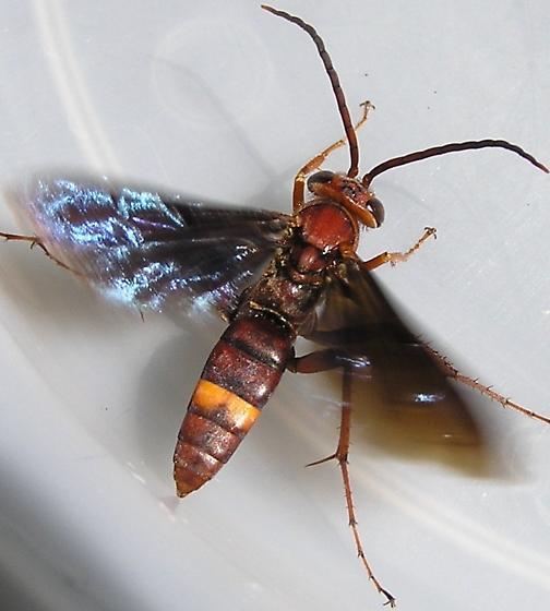Wasp - Poecilopompilus algidus - male
