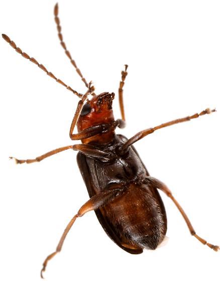 Female, Luperosoma subsulcatum? - Luperosoma subsulcatum
