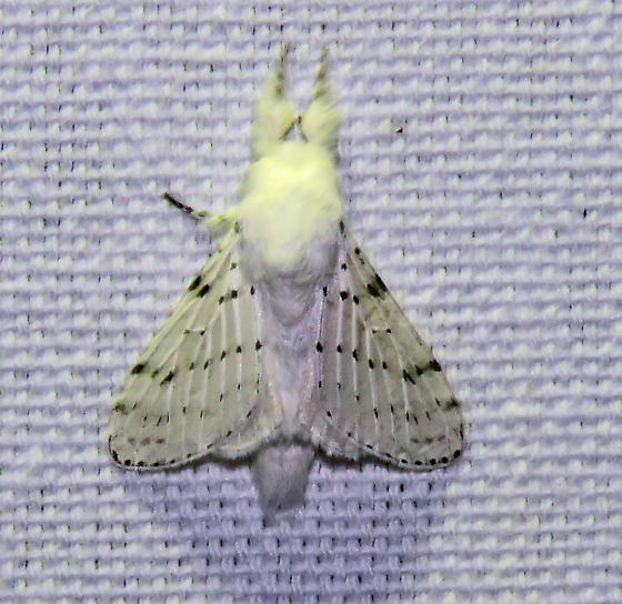 Dot-lined White - Artace cribrarius