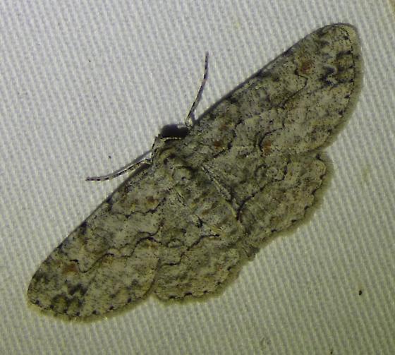 Iridopsis defectaria - Brown-shaded Gray Moth - Iridopsis defectaria