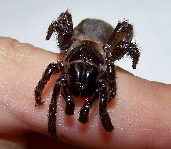 Spider! - Eucteniza relata