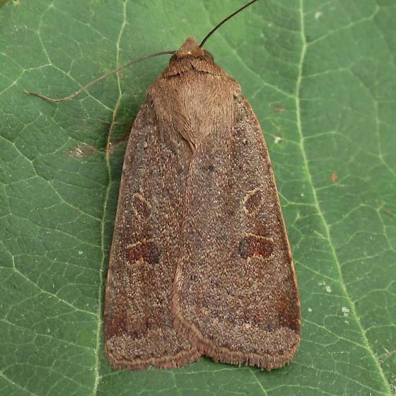 A Noctuid Moth - Noctua comes