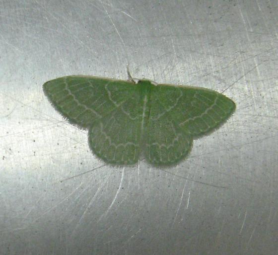 Geometridae  8-28-10 01 - Synchlora aerata