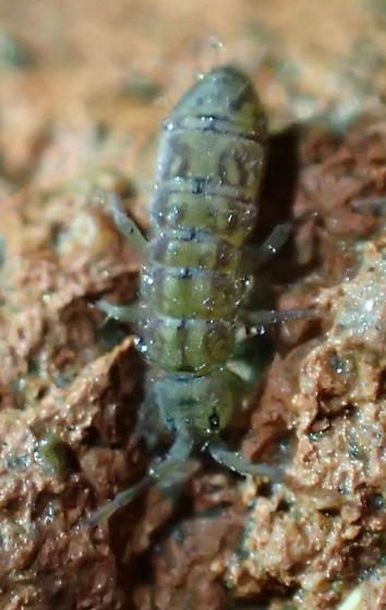 Springtail - Isotoma delta