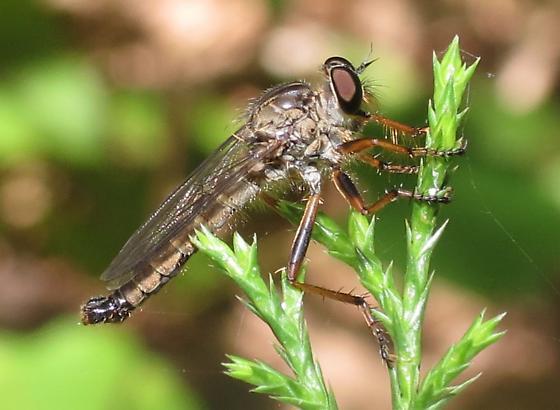 Neomochtherus auricomus - male