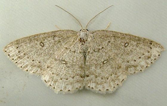 1688 Cyclophora pendulinaria - Sweetfern Geometer 7139 - Cyclophora pendulinaria