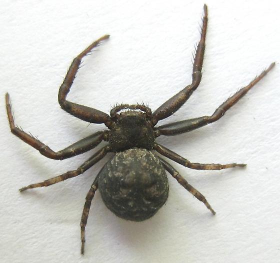 A Bark Crab Spider? - Coriarachne brunneipes