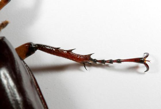 Reddish-brown Stag Beetle--detail of leg - Lucanus capreolus - male