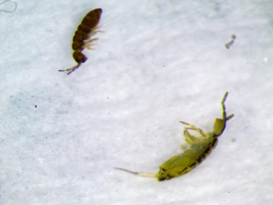 Bugs found on surface of Pool - Saltwater Pool, Chlorine 5ppm