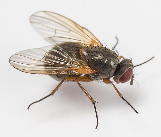 Fly - Phaonia apicata