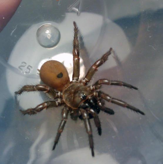 Female trap/folding door spider? Antrodiaetus Pacificus? - Antrodiaetus - female & Female trap/folding door spider? Antrodiaetus Pacificus ... Pezcame.Com