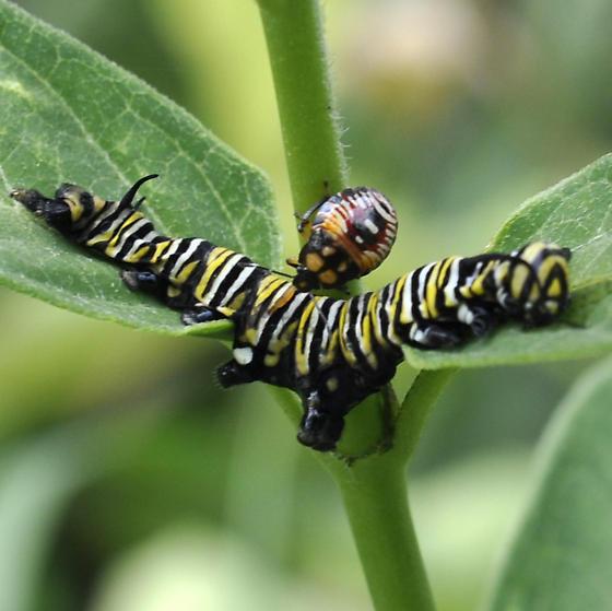 Monarch predator - Podisus