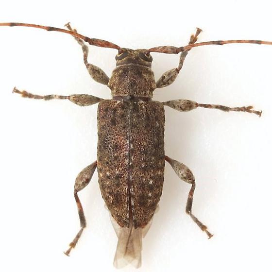 Sternidius punctatus (Haldeman) - Sternidius punctatus