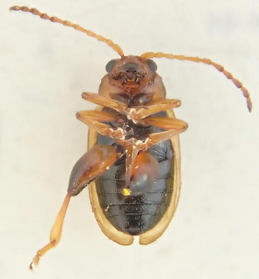 Beetle - Aphthona nigriscutis