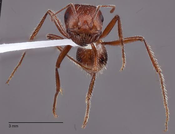 Pogonomyrmex occidentalis? - Pogonomyrmex californicus