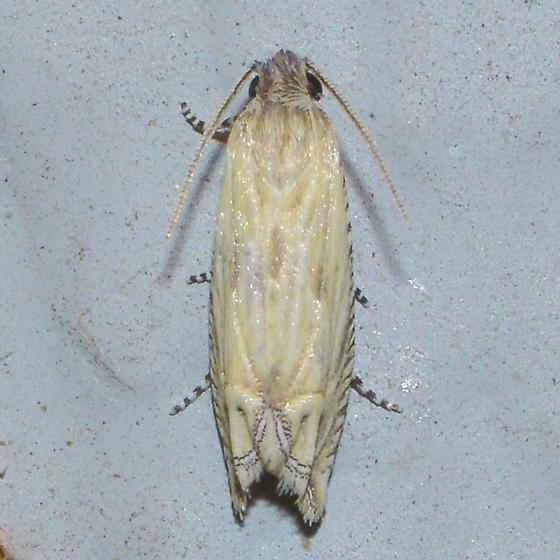 Eucosma grindeliana for Louisiana - Eucosma grindeliana