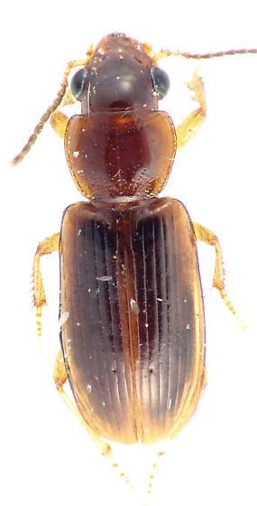 ground beetle - Acupalpus indistinctus