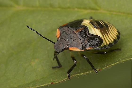 Shield bug? - Chinavia hilaris