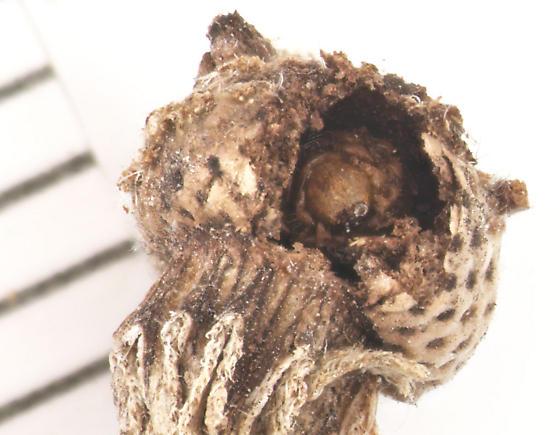 Anthribidae, larva dead in Sneezeweed receptacle - Trigonorhinus limbatus