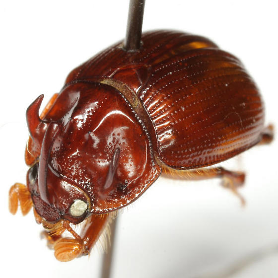 Odonteus thoracicornis Wallis - Odonteus thoracicornis