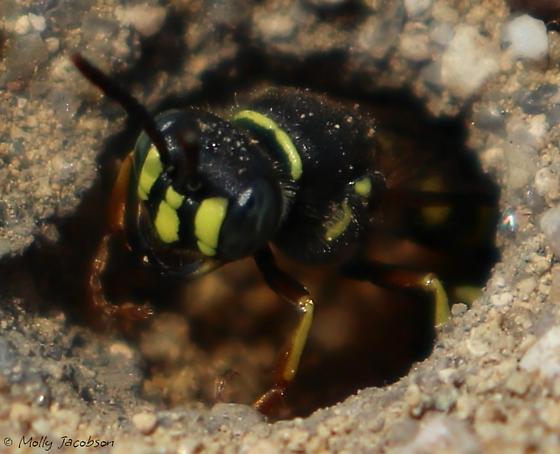 beewolf? - Aphilanthops frigidus