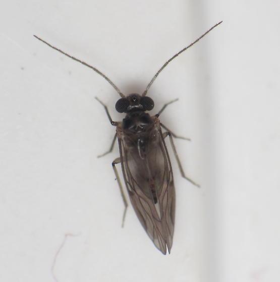 barklouse - Peripsocus madidus - male