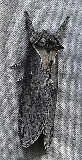 Pheosidea/Prominent? - Pheosidea elegans