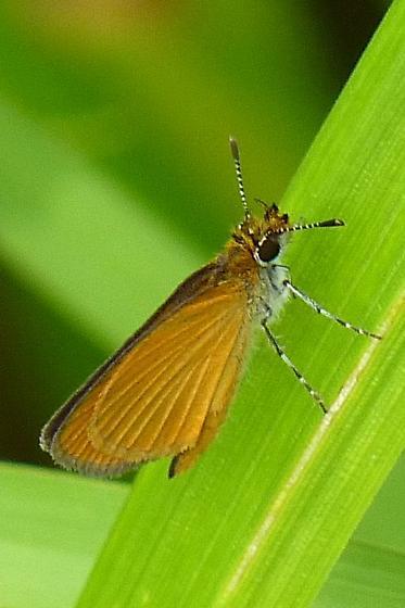 Skipper (Delaware?) - Ancyloxypha numitor