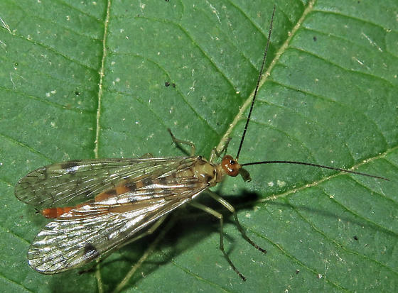 Common Scorpionfly - Panorpa - female