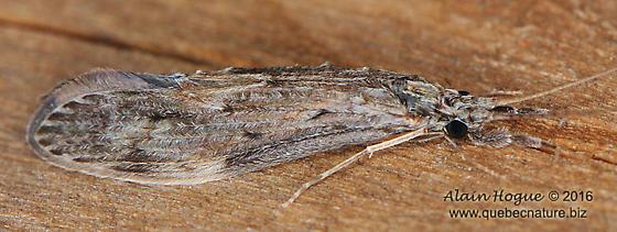 Trichoptera - Oecetis cinerascens