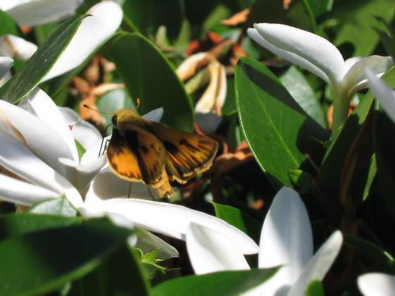 neighborhood lepidoptera - Hylephila phyleus
