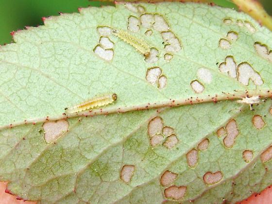 Bristly Rose Slug? - Cladius difformis